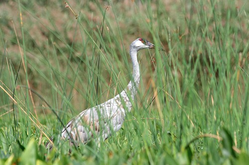 Swan in Tall Grass