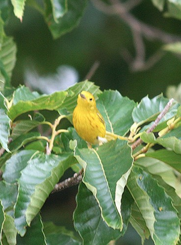 Tiny yellow bird on leaf