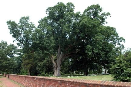 the old salem oak - Photo Gallery