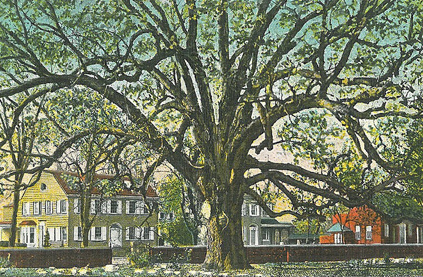 Historic image of the Salem oak tree