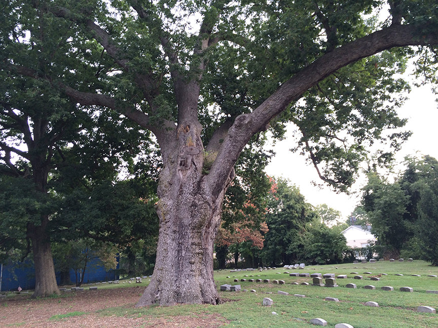 salem oak tree