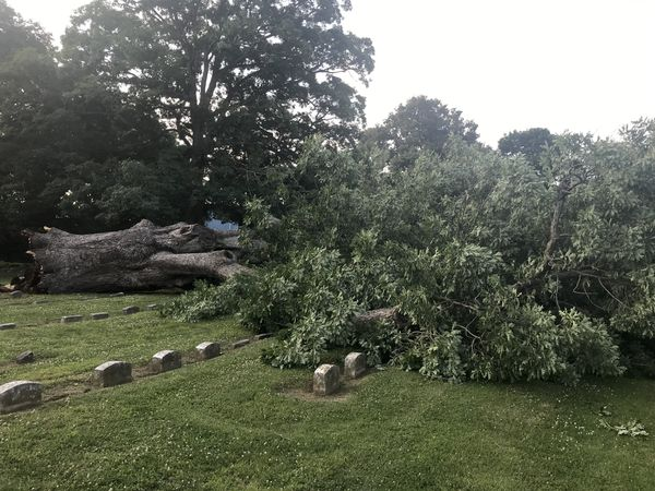 Salem Oak collapsed