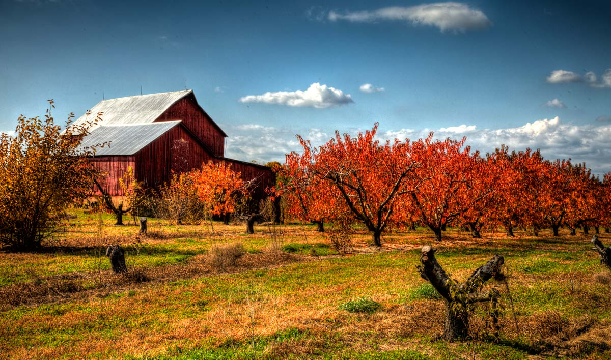 Red barn with autumn apple trees in front of it